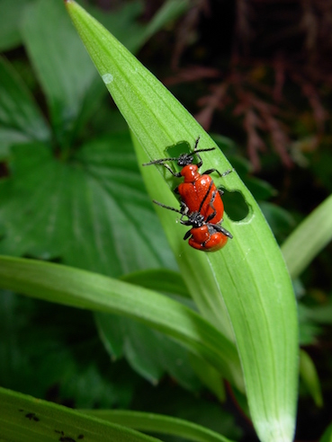Plant Diseases and Garden Pests: Lily Beetle