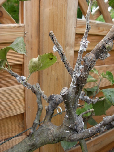 Plant Diseases and Garden Pests: Woolly Aphid