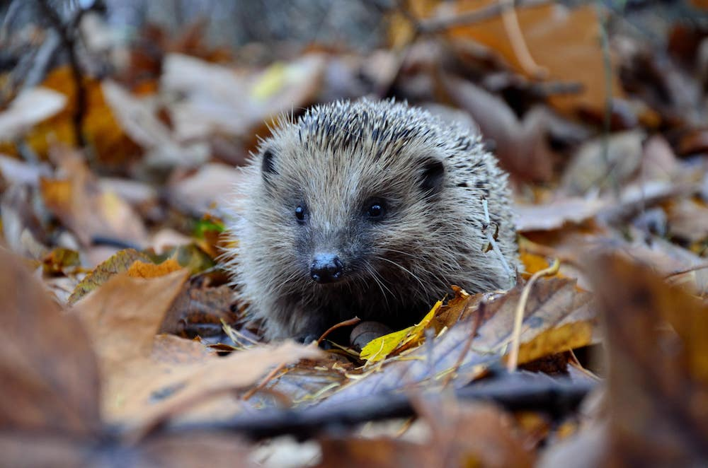 Protect hedgehogs & build a wildlife-friendly bonfire