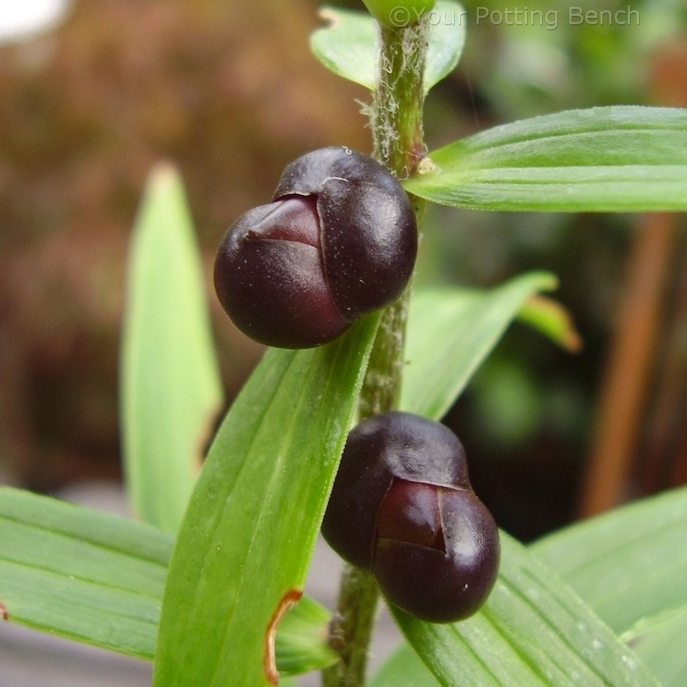 Step 1 of How to Propagate Lilies from Bulbils