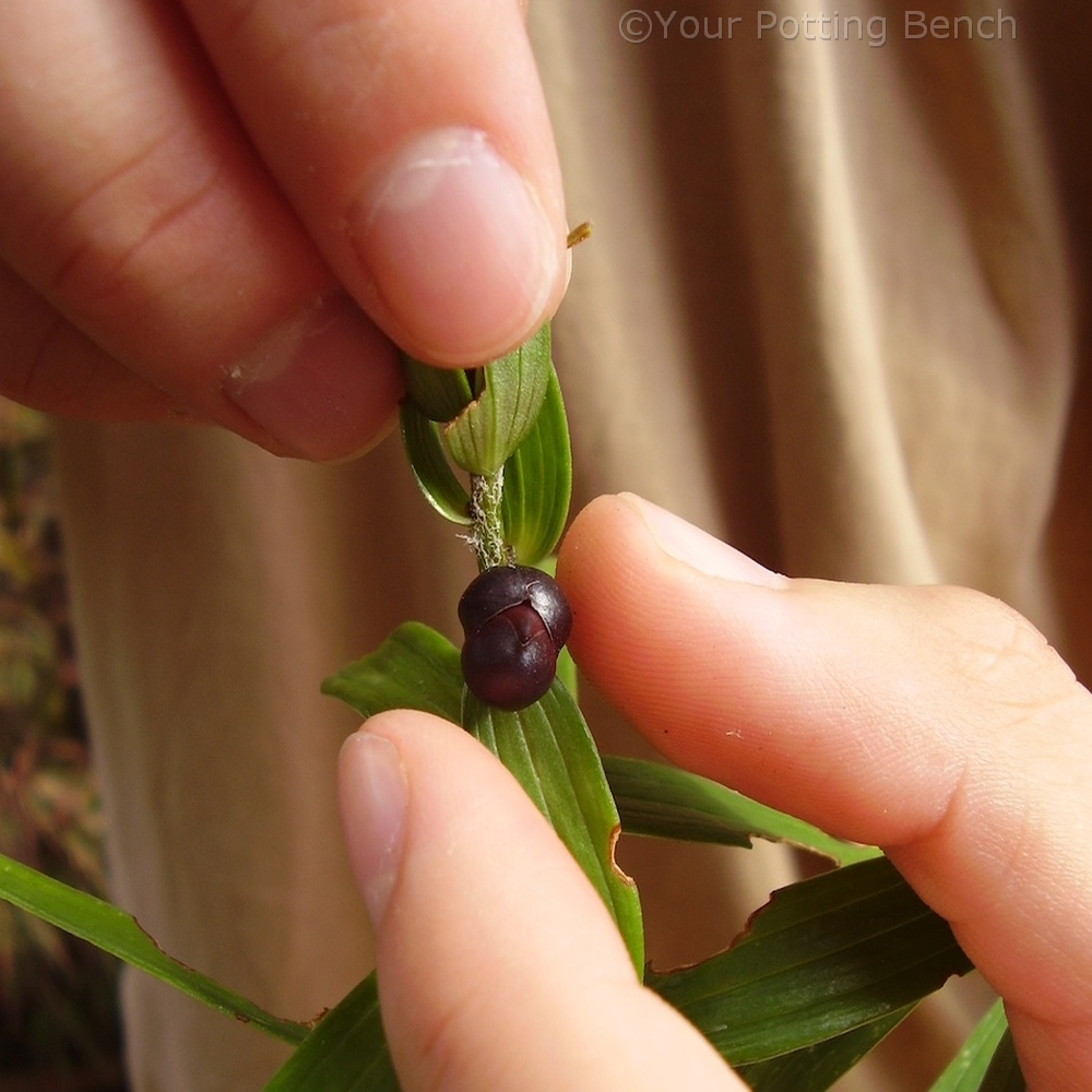 Step 2 of How to Propagate Lilies from Bulbils