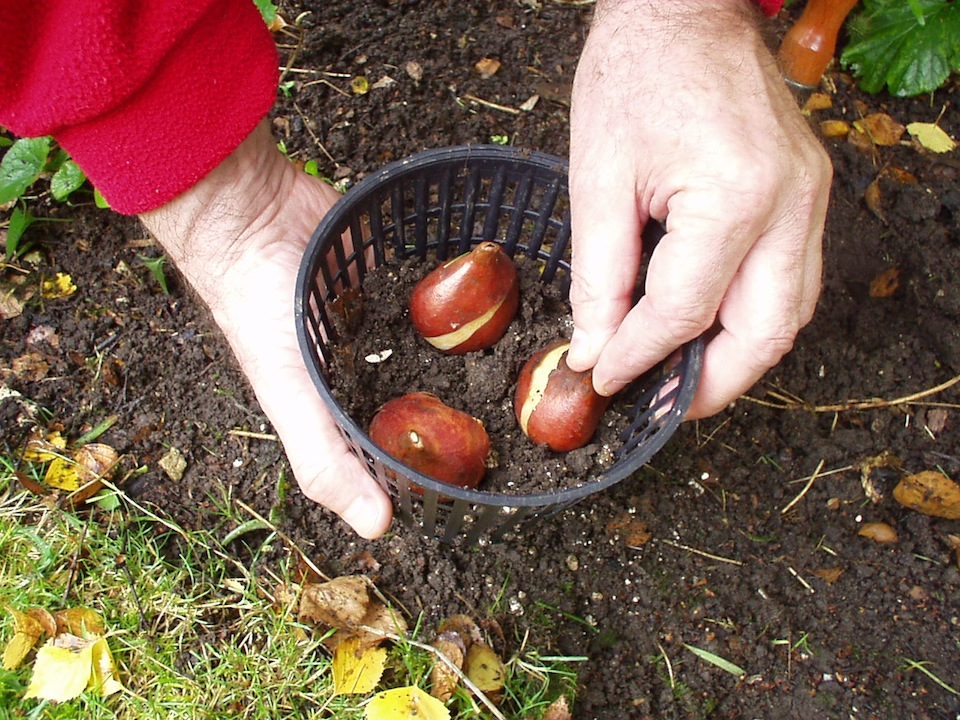 Step 2 of How to protect bulbs in the garden