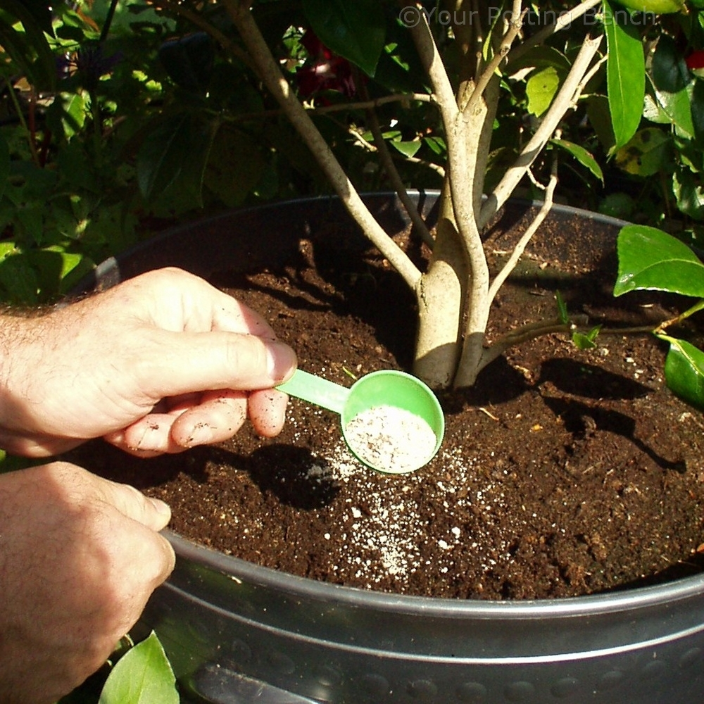Step 3 of How to care for Camellias