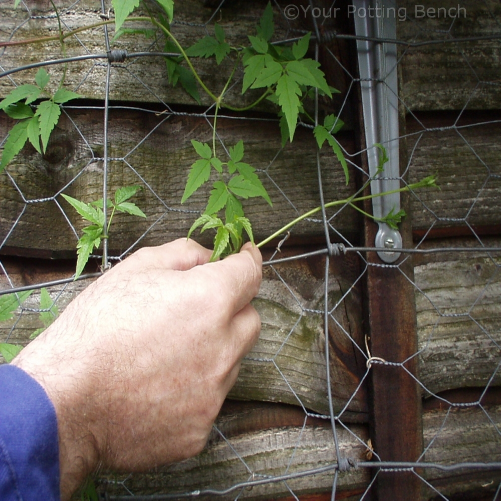 Step 1 of How to Care for Early-Flowering Clematis