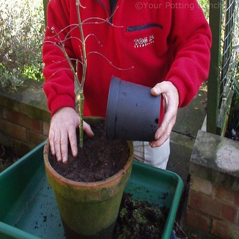 Step 2 of How to Maintain a container plant