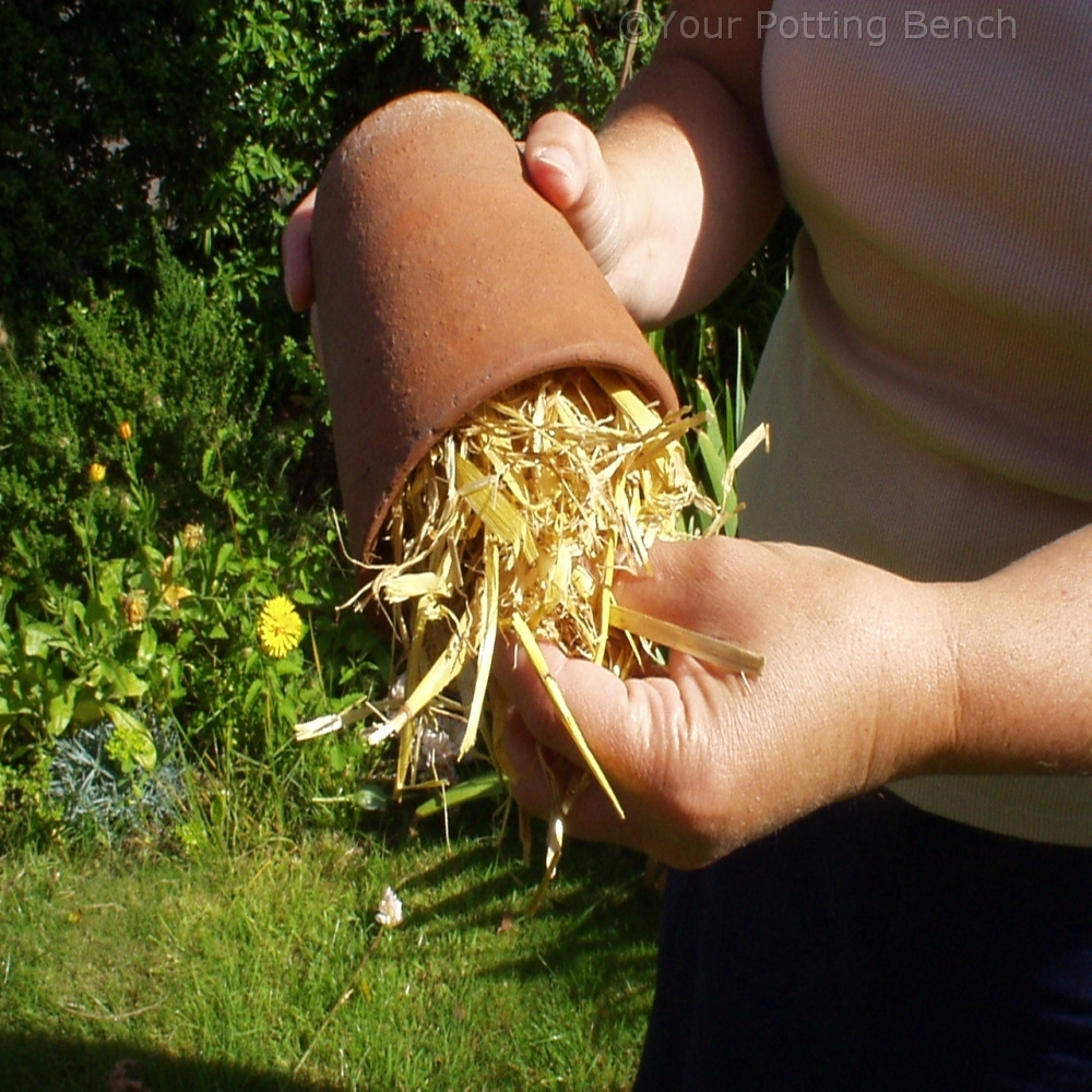 Step 1 of How to make the most of your dahlias