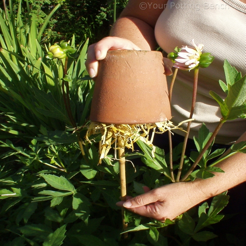 Step 2 of How to make the most of your dahlias