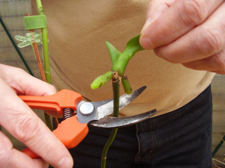 Step 3 of How to: New orchids from old