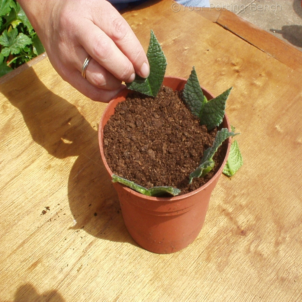 Step 3 of Hows to take Leaf Cuttings