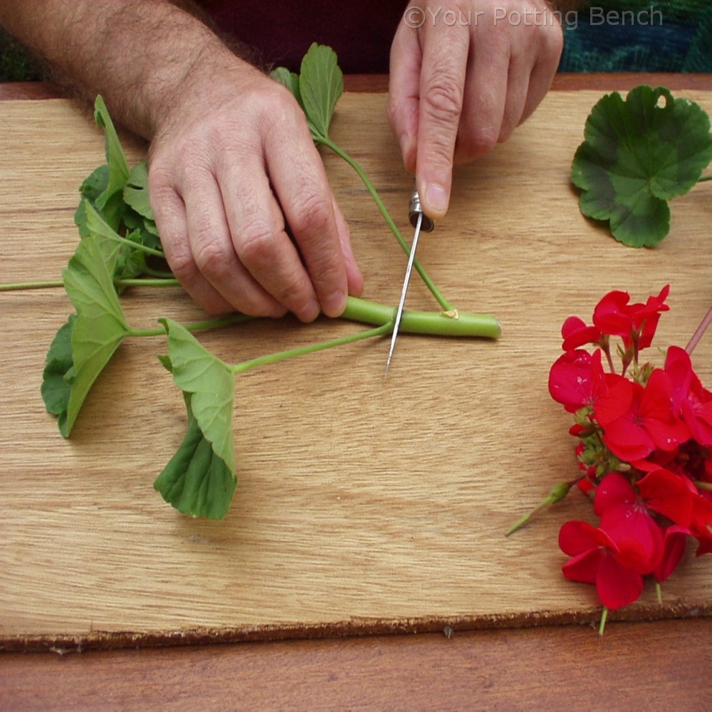 Step 1 of How to take Pelargonium Cuttings