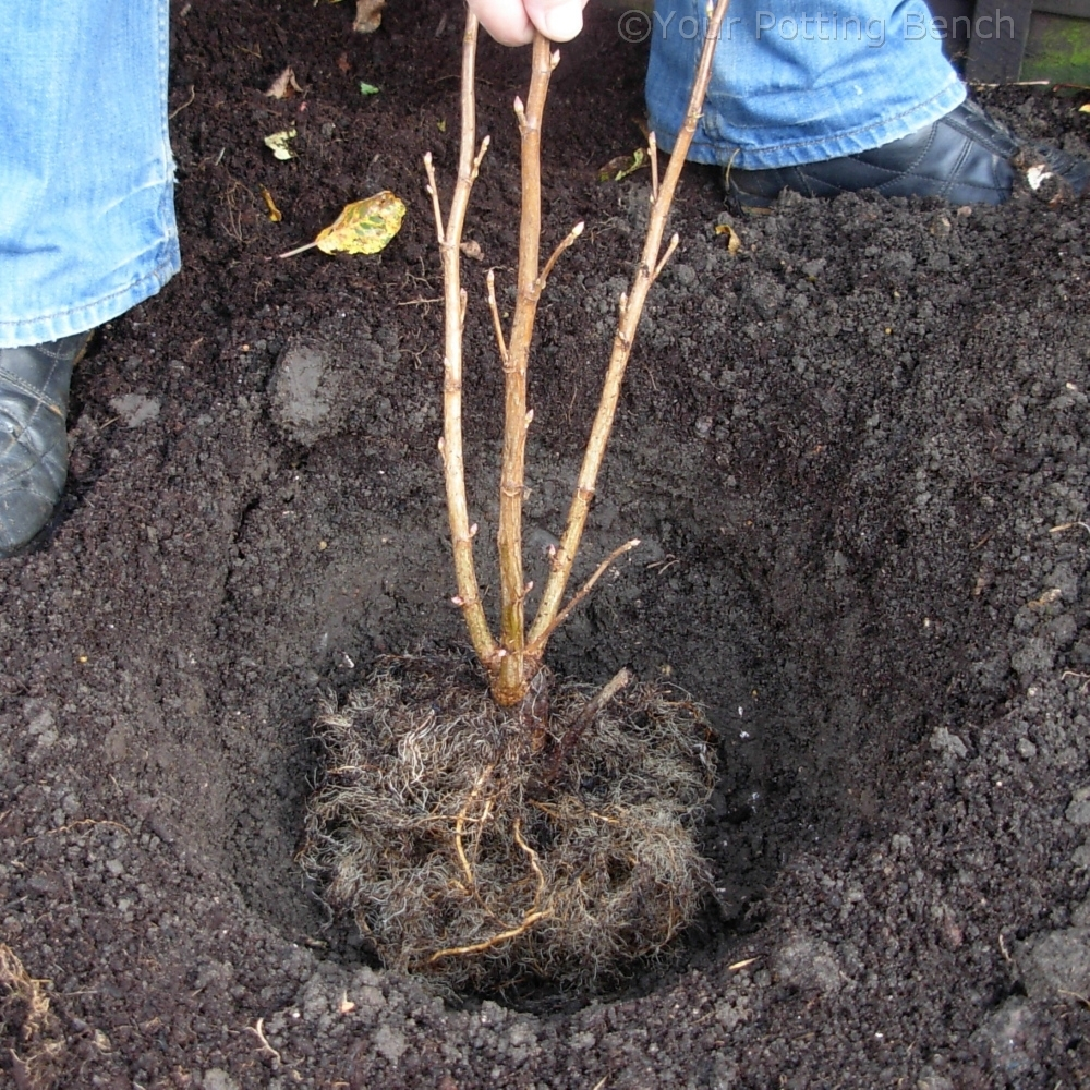 Step 1 of How to Plant a Fruit Bush