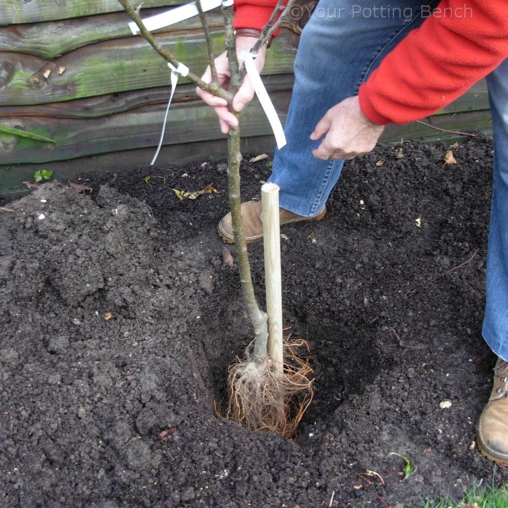 Step 2 of How to plant a Fruit Tree