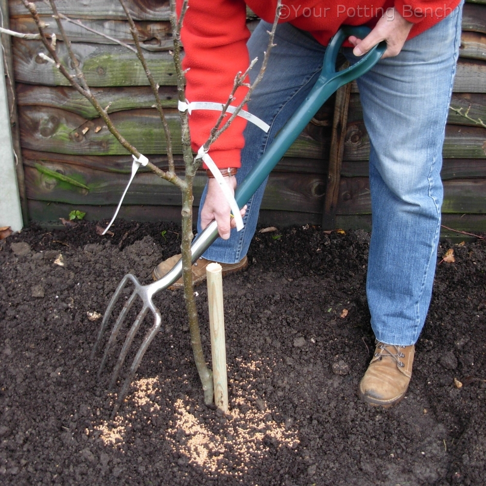 Step 3 of How to plant a Fruit Tree