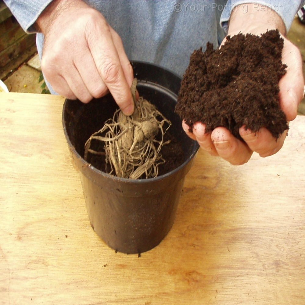 Step 1 of How to take Dahlia cuttings