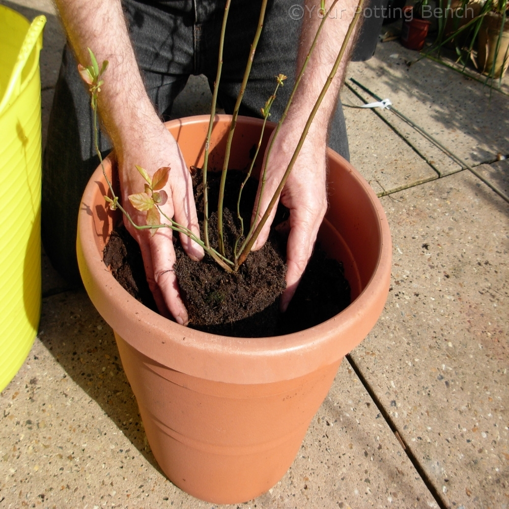 Step 3 of How to grow a Blueberry in a Container