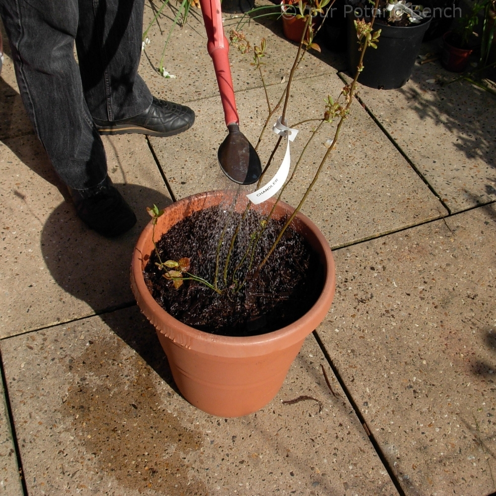 Step 4 of How to grow a Blueberry in a Container