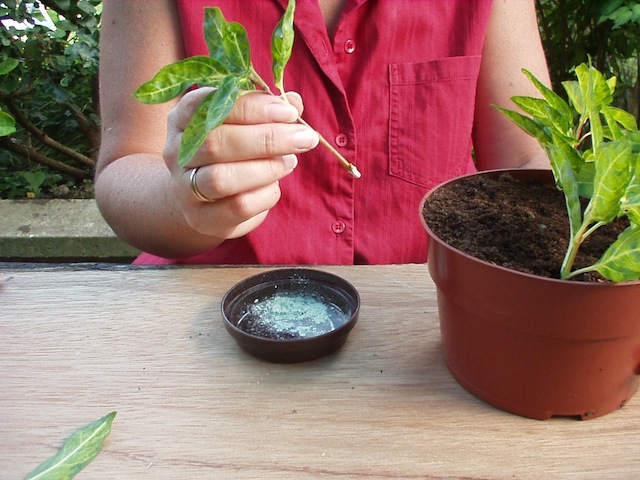 Step 3 of How to take softwood cuttings